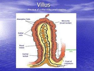 Villus