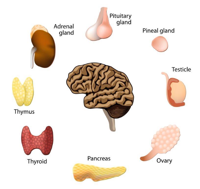 Ausgezeichnet Organe Im Endokrinen System Beteiligt Ideen ...