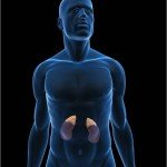 Body with Adrenal Glands
