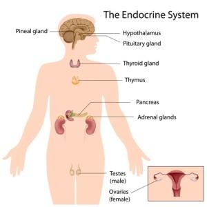 Endocrine System Glands